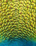Peacock's Tail. The texture of a peacock's feathers close to the tail Stock Photography