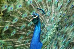 Peacock screaming Royalty Free Stock Photo