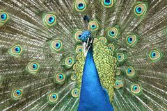 Peacock screaming Royalty Free Stock Images
