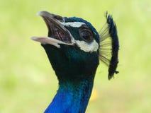 Peacock screaming loud at Bagatelle Park, Paris, France, Europe, April 2019 stock images