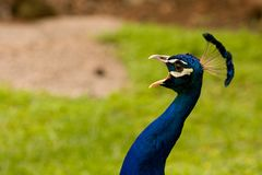 Peacock shouting Stock Photos