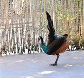 Peacock show tail Royalty Free Stock Image