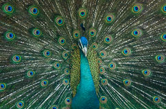 Peacock is showing beautiful feathers Royalty Free Stock Photos