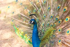 Peacock showing beautiful plumage in breading season.  Royalty Free Stock Photo