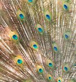 Peacock showing beautiful plumage in breading season.  Stock Photo
