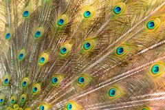 Peacock showing beautiful plumage in breading season.  Stock Photos