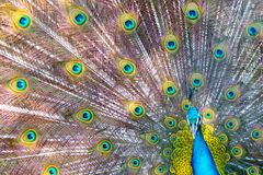Peacock showing beautiful plumage in breading season.  Stock Photography