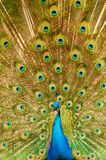 Peacock showing feathers Royalty Free Stock Photography