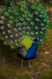 Peacock showing feathers Stock Images