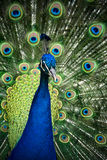 Peacock showing full plumage in colourful close up Royalty Free Stock Images