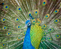 Peacock showing his beautiful feathers Royalty Free Stock Photos