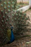 A peacock showing his colored feathers stock photo