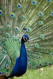Peacock showing his glory Stock Image