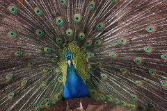 Peacock showing tailfeathers Royalty Free Stock Photo