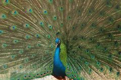 Peacock showing its beautiful feathers Stock Photo