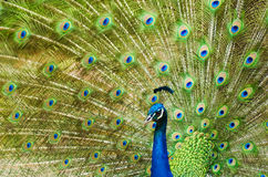Peacock showing its beautiful feathers Stock Photography