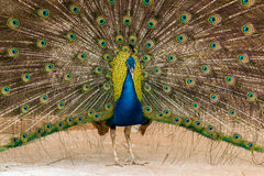 Peacock showing its beautiful feathers. Close up of peacock showing its beautiful feathers Royalty Free Stock Photo