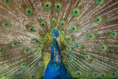 Peacock showing its beautiful feathers. Royalty Free Stock Photos