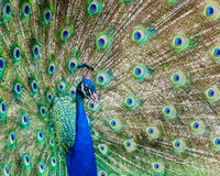 Peacock. The peacock is showing its colour Stock Photography