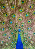Peacock. The peacock is showing its colour Stock Images