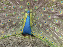 Peacock showing its feathers Stock Photos