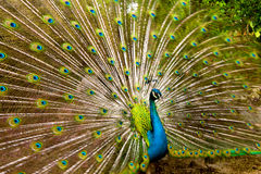 Peacock showing its feathers Royalty Free Stock Photos