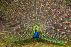 Peacock showing its tail royalty free stock images
