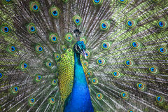 Peacock showing its tail. Peacock showing its extended tail feathers Stock Photography