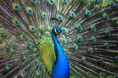Peacock showing its tail Stock Photography