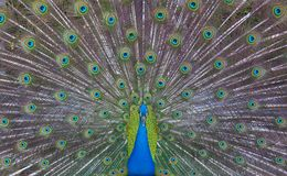 Peacock showing off Stock Photos