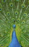 Peacock showing off Stock Photos