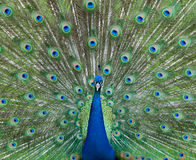 Peacock showing off Royalty Free Stock Photography
