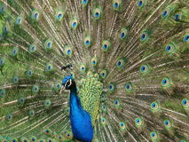 Peacock showing off Stock Images