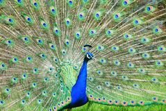 Peacock showing off colorful feathers Stock Photography