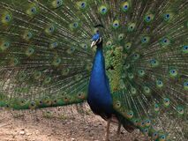 peacock-showing-off-feathers Royalty Free Stock Photos