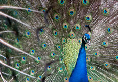 Peacock showing off feathers Royalty Free Stock Image