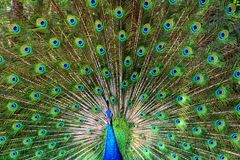 Peacock showing off feathers Stock Photography