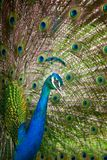 Peacock Feathers Spread Out Stock Photography
