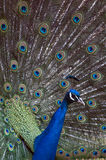 Peacock showing off his feathers Royalty Free Stock Photo