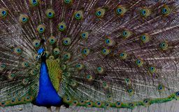 Peacock Royalty Free Stock Photo