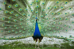 A peacock Stock Images