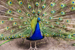 Peacock showing off it`s colors. A peacock showing off it`s colors Royalty Free Stock Photo