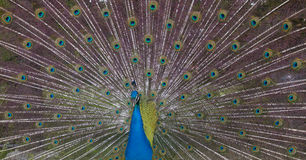 Peacock showing off Stock Image