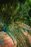 Peacock showing off the tail. Male peacock showing off the tail and all the feathers and the colours stock photo