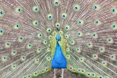 Peacock showing tail Royalty Free Stock Photo