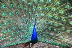 Peacock showing tail feathers Stock Images