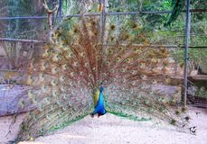 A peacock expanded colorful feathers. Peacock shows colorful tail spread royalty free stock photo