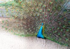 A peacock expanded colorful feathers. Peacock shows colorful tail spread royalty free stock photography