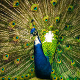 Beautiful Blue Peacock Stock Photography