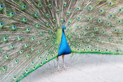 Peacock shows its tail Stock Photos